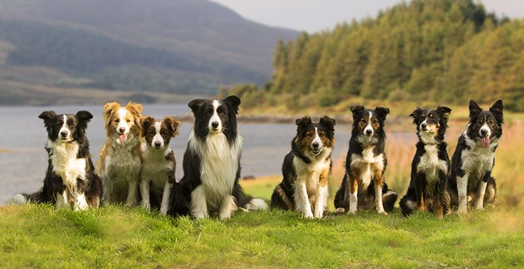meute de border collies